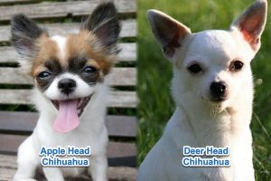 Apple head vs deer head chihuahua