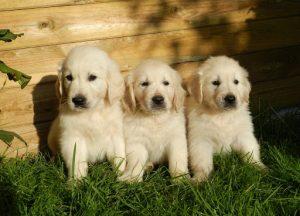 Choosing A Responsible Dog Breeder