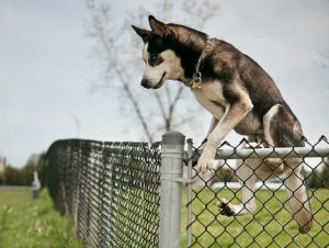 dog jumping over an outdoor park fence