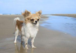Chihuahua The Beach