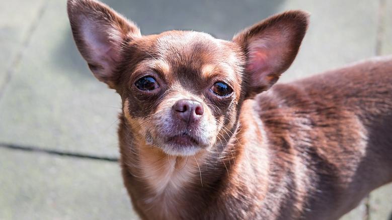 killing her neighbour's Chihuahua